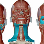 Anatomy samsett MYND
